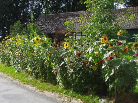 bauerngarten_sonnenblumen