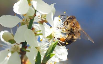 bee-on-cherry-blossom-640